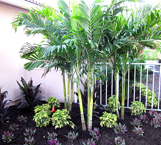 Palm Trees for Outdoor Planting